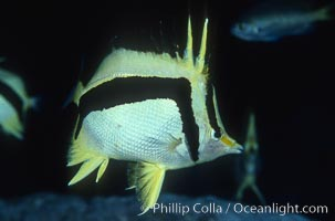 Image 04611, Scythe-mark butterflyfish. Guadalupe Island (Isla Guadalupe), Baja California, Mexico, Prognathodes falcifer, Phillip Colla, all rights reserved worldwide. Keywords: animal, baja california, band, butterflyfish, california, california baja california, chaetodon falcifer, color and pattern, fish, fish anatomy, guadalupe island, indo-pacific, international, isla guadalupe special biosphere reserve, marine fish, mexico, oceans, pacific, prognathodes falcifer, scythe butterfly, scythe-mark butterflyfish, scythe-marked butterfly fish, underwater.