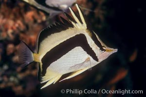 Scythe-mark butterflyfish. Guadalupe Island (Isla Guadalupe), Baja California, Mexico, Prognathodes falcifer, natural history stock photograph, photo id 04614