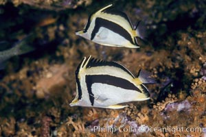 Scythe-mark butterflyfish. Guadalupe Island (Isla Guadalupe), Baja California, Mexico, Prognathodes falcifer, natural history stock photograph, photo id 04615