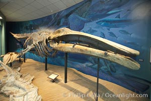 Gray whale skeleton on display at the San Diego Natural History Museum, Balboa Park
