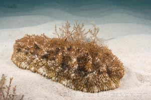 Unidentified sea cucumber on the shallow sand banks of the Northern Bahamas. Bahamas, natural history stock photograph, photo id 10830
