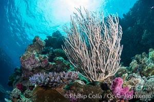 Branching whip coral (Ellisella sp.) captures passing planktonic food in ocean currents, Fiji. Vatu I Ra Passage, Bligh Waters, Viti Levu  Island, Ellisella, natural history stock photograph, photo id 31345