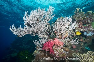 Branching whip coral (Ellisella sp.) captures passing planktonic food in ocean currents, Mount Mutiny, Bligh Waters, Fiji, Ellisella, Vatu I Ra Passage