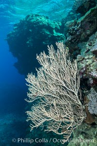 Branching whip coral (Ellisella sp.) captures passing planktonic food in ocean currents, Fiji, Ellisella