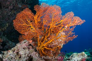 Plexauridae sea fan or gorgonian on coral reef.  This gorgonian is a type of colonial alcyonacea soft coral that filters plankton from passing ocean currents. Vatu I Ra Passage, Bligh Waters, Viti Levu  Island, Fiji, Gorgonacea, Plexauridae, natural history stock photograph, photo id 31641