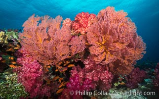 Plexauridae sea fan gorgonian and dendronephthya soft coral on coral reef.  Both the sea fan gorgonian and the dendronephthya  are type of alcyonacea soft corals that filter plankton from passing ocean currents, Dendronephthya, Gorgonacea, Plexauridae