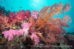 Plexauridae sea fan gorgonian and dendronephthya soft coral on coral reef.  Both the sea fan gorgonian and the dendronephthya  are type of alcyonacea soft corals that filter plankton from passing ocean currents, Dendronephthya, Gorgonacea, Plexauridae, Gau Island, Lomaiviti Archipelago, Fiji