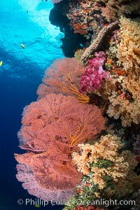 Sea fan gorgonian and dendronephthya soft coral on coral reef.  Both the sea fan gorgonian and the dendronephthya  are type of alcyonacea soft corals that filter plankton from passing ocean currents, Dendronephthya, Gorgonacea, Plexauridae, Vatu I Ra Passage, Bligh Waters, Viti Levu  Island, Fiji