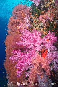 Sea fan gorgonian and dendronephthya soft coral on coral reef.  Both the sea fan gorgonian and the dendronephthya  are type of alcyonacea soft corals that filter plankton from passing ocean currents, Dendronephthya, Gorgonacea, Vatu I Ra Passage, Bligh Waters, Viti Levu  Island, Fiji