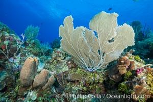 Sea fan gorgonian on coral reef, Grand Cayman Island