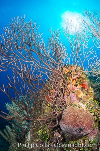 Sea fan gorgonian on coral reef, Grand Cayman Island