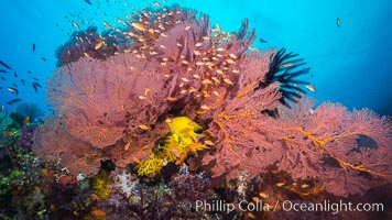 Plexauridae sea fan gorgonian and schooling Anthias on pristine and beautiful coral reef, Fiji. Fiji, Pseudanthias, Gorgonacea, Plexauridae, natural history stock photograph, photo id 31437