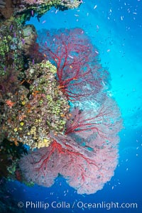 Plexauridae sea fan gorgonian and schooling Anthias on pristine and beautiful coral reef, Fiji, Gorgonacea, Plexauridae, Pseudanthias, Wakaya Island, Lomaiviti Archipelago