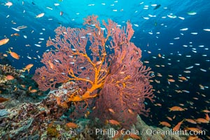Plexauridae sea fan gorgonian and schooling Anthias on pristine and beautiful coral reef, Fiji, Pseudanthias, Gorgonacea, Plexauridae, Gau Island, Lomaiviti Archipelago