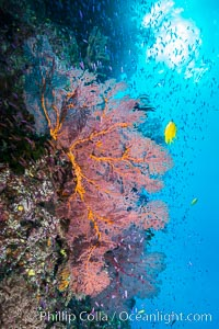 Sea fan gorgonian and schooling Anthias on pristine and beautiful coral reef, Fiji, Gorgonacea, Plexauridae, Pseudanthias, Wakaya Island, Lomaiviti Archipelago
