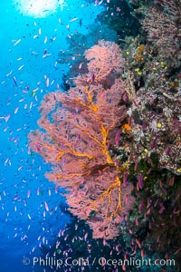 Image 31551, Sea fan gorgonian and schooling Anthias on pristine and beautiful coral reef, Fiji. Wakaya Island, Lomaiviti Archipelago, Pseudanthias, Gorgonacea, Plexauridae, Phillip Colla, all rights reserved worldwide.   Keywords: actinopterygii:alcyonacea:animalia:anthias:anthiinae:anthozoa:chordata:cnidaria:coral:coral reef:fiji:fiji islands:fijian islands:fish:gorgonacea:gorgonian:island:lomaiviti archipelago:lyretail anthias:marine:nature:oceania:octocorallia:pacific ocean:perciformes:pseudanthias squamipinnis:reef:school:sea fan:serranidae:south pacific:tropical:underwater:wakaya island:colonial octocoral:plexauridae.
