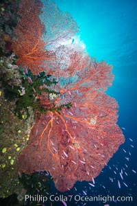 Plexauridae sea fan gorgonian and schooling Anthias on pristine and beautiful coral reef, Fiji, Pseudanthias, Gorgonacea, Plexauridae, Namena Marine Reserve, Namena Island