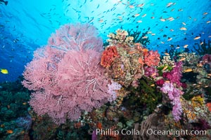Beautiful South Pacific coral reef, with Plexauridae sea fans, schooling anthias fish and colorful dendronephthya soft corals, Fiji, Dendronephthya, Pseudanthias, Gorgonacea, Plexauridae, Namena Marine Reserve, Namena Island