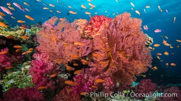 Beautiful South Pacific coral reef, with gorgonian sea fans, schooling anthias fish and colorful dendronephthya soft corals, Fiji, Dendronephthya, Pseudanthias, Gorgonacea
