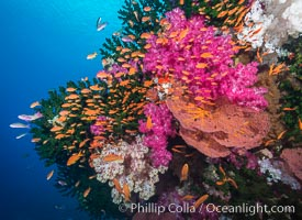 Image 31441, Beautiful South Pacific coral reef, with gorgonian sea fans, schooling anthias fish and colorful dendronephthya soft corals, Fiji. Fiji, Dendronephthya sp., Pseudanthias, Gorgonacea, Tubastrea micrantha