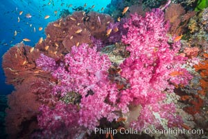 Beautiful South Pacific coral reef, with gorgonian sea fans, schooling anthias fish and colorful dendronephthya soft corals, Fiji. Vatu I Ra Passage, Bligh Waters, Viti Levu  Island, Dendronephthya, Pseudanthias, Gorgonacea, natural history stock photograph, photo id 31478