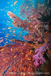 Beautiful South Pacific coral reef, with gorgonian sea fans, schooling anthias fish and colorful dendronephthya soft corals, Fiji, Dendronephthya, Pseudanthias, Gorgonacea, Vatu I Ra Passage, Bligh Waters, Viti Levu  Island
