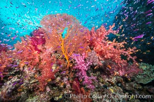Beautiful South Pacific coral reef, with gorgonian sea fans, schooling anthias fish and colorful dendronephthya soft corals, Fiji, Dendronephthya, Pseudanthias, Gorgonacea, Plexauridae, Gau Island, Lomaiviti Archipelago