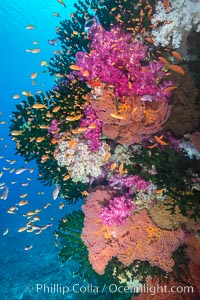 Beautiful South Pacific coral reef, with gorgonian sea fans, schooling anthias fish and colorful dendronephthya soft corals, Fiji, Dendronephthya, Pseudanthias, Gorgonacea, Tubastrea micrantha