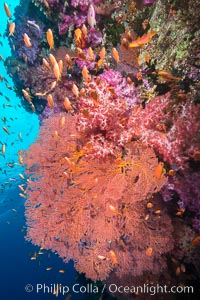 Beautiful South Pacific coral reef, with gorgonian sea fans, schooling anthias fish and colorful dendronephthya soft corals, Fiji, Dendronephthya, Pseudanthias, Gorgonacea, Plexauridae, Vatu I Ra Passage, Bligh Waters, Viti Levu  Island