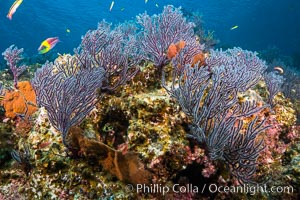 Sea fans and rocky reef, La Reina, Lighthouse Reef, Sea of Cortez