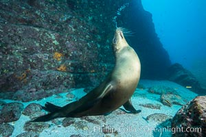 Sea lion blowing underwater bubbles as it stands on its flippers. Sea of Cortez, Baja California, Mexico, Zalophus californianus, natural history stock photograph, photo id 31210