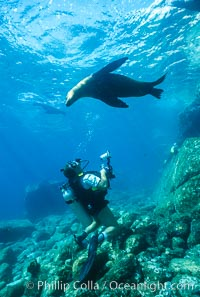 Image 00953, California sea lion with diver, Sea of Cortez., Zalophus californianus, Phillip Colla, all rights reserved worldwide. Keywords: animal, animalia, california sea lion, californianus, caniformia, carnivora, carnivore, chordata, creature, eared seal, lobo marino, mammal, mammalia, man and animal, marine, marine mammal, nature, ocean, otarid, otariid, otariidae, pacific ocean, people, pinniped, pinnipedia, scuba diver, sea, sea dog, sea lion, sealion, underwater, vertebrata, vertebrate, wildlife, zalophus, zalophus californianus.