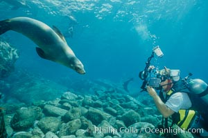 California sea lion and diver, Sea of Cortez, Zalophus californianus