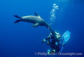 California sea lion and diver. Santa Barbara Island, USA, Zalophus californianus, natural history stock photograph, photo id 01981