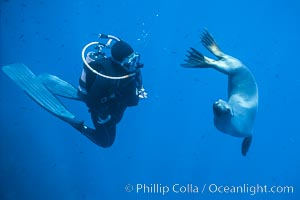 California sea lion and diver consider each other, underwater in the clear ocean water of Guadalupe Island, Zalophus californianus, Guadalupe Island (Isla Guadalupe)