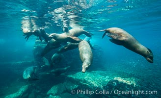 Sea lion harem of females, underwater, Zalophus californianus, Sea of Cortez