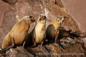 California sea lions, Coronado Islands, Zalophus californianus, Coronado Islands (Islas Coronado)