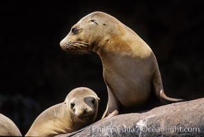 California sea lion, Los Coronado Islands, Zalophus californianus, Coronado Islands (Islas Coronado)