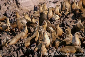 California sea lion colony, Los Coronado Islands. Coronado Islands (Islas Coronado), Coronado Islands, Baja California, Mexico, Zalophus californianus, natural history stock photograph, photo id 03077