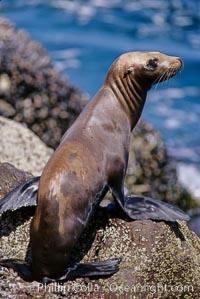 California sea lion pup, starving during El Nino event, Los Coronado Islands, Zalophus californianus, Coronado Islands (Islas Coronado)