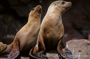 California sea lions, Los Coronado Islands, Zalophus californianus, Coronado Islands (Islas Coronado)