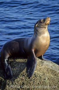 California sea lion. Monterey, California, USA, Zalophus californianus, natural history stock photograph, photo id 01924