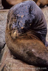 California sea lion, adult male with scarring, Zalophus californianus, Monterey