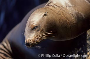 California sea lion, head whiskers and external ear, Zalophus californianus, Monterey