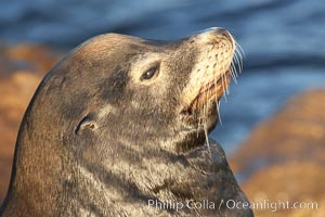 California sea lion, adult male, profile of head showing long whiskers and prominent sagittal crest (cranial crest bone), hauled out on rocks to rest, early morning sunrise light, Monterey breakwater rocks. Monterey, California, USA, Zalophus californianus, natural history stock photograph, photo id 21561