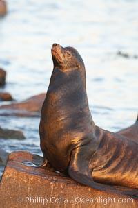 California sea lion, adult male, hauled out on rocks to rest, early morning sunrise light, Monterey breakwater rocks. USA, Zalophus californianus, natural history stock photograph, photo id 21562