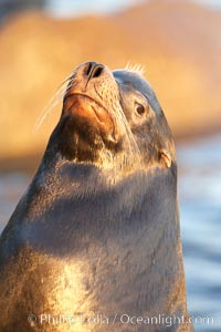 California sea lion, adult male, profile of head showing long whiskers and prominent sagittal crest (cranial crest bone), hauled out on rocks to rest, early morning sunrise light, Monterey breakwater rocks. USA, Zalophus californianus, natural history stock photograph, photo id 21579
