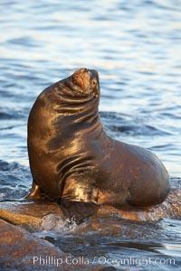 California sea lion, adult male, hauled out on rocks to rest, early morning sunrise light, Monterey breakwater rocks, Zalophus californianus
