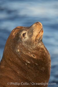 Image 21585, California sea lion, adult male, profile of head showing long whiskers and prominent sagittal crest (cranial crest bone), hauled out on rocks to rest, early morning sunrise light, Monterey breakwater rocks. Monterey, California, USA, Zalophus californianus