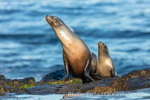 California Sea Lion mother with her pup, La Jolla, California, Zalophus californianus
